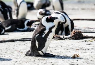 Südafrika – Teil 4: Pinguine in Bettys Bay, das beste Winetasting aller Zeit in Hermanus, Haikäfigtauchen und ein Herzensprojekt in Gaansbaai